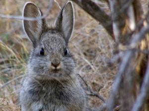 pygmy_rabbit_AP